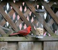 Uccello cardinale Immagini Stock