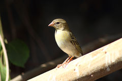Uccello cardinale femminile Immagine Stock Libera da Diritti