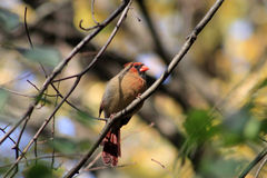 Uccello cardinale femminile Fotografia Stock Libera da Diritti