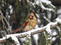 Uccello cardinale femminile sul ramo attillato Immagini Stock