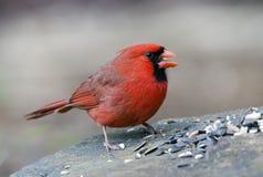 Uccello cardinale nordico maschio rosso che mangia seme, Atene GA, U.S.A. Immagine Stock