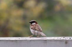 Uccello cenary di Brown Immagini Stock