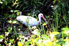 Uccello in cespuglio Immagini Stock Libere da Diritti