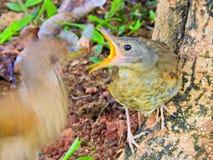 Uccello che alimenta il loro cucciolo nel nido immagine stock libera da diritti
