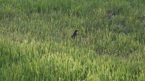 Uccello che cammina nell'erba verde all'aperto stock footage