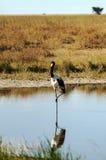 Uccello che cammina su un lago Fotografie Stock
