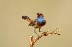 Uccello che canta sul bluethroat dell'allerta Fotografie Stock