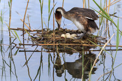 Uccello che cova le sue uova Immagini Stock
