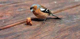 Uccello che eanting Fotografia Stock Libera da Diritti