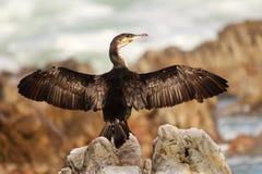 Uccello che espone al sole le sue ali su una roccia dal mare Fotografia Stock