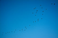 Uccello che gira intorno sul cielo blu Fotografie Stock Libere da Diritti