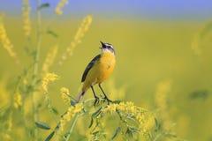 Uccello che la cutrettola canta fra i fiori su un prato soleggiato di estate Fotografie Stock Libere da Diritti