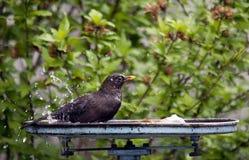 Uccello che lava nel bagno dell'uccello Fotografia Stock