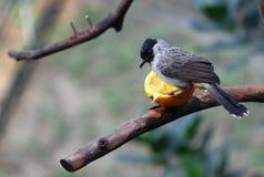 Uccello che mangia arancio Immagini Stock