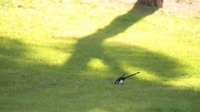 Uccello che mangia sull'erba stock footage