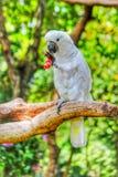 Uccello che mangia uva Immagini Stock Libere da Diritti