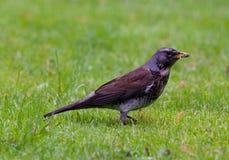 Uccello che mangia verme su erba Immagini Stock