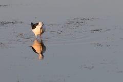 Uccello che riflette sulla superficie del lago -2 Immagini Stock Libere da Diritti