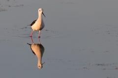 Uccello che riflette sulla superficie del lago -1 Fotografia Stock Libera da Diritti