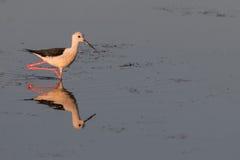 Uccello che riflette sulla superficie del lago -3 Fotografia Stock Libera da Diritti