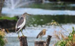 Uccello che si leva in piedi sopra un legno nel lago Fotografie Stock