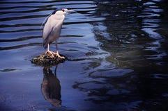 Uccello che si leva in piedi sulla piccola isola sul lago Fotografia Stock Libera da Diritti