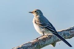 Uccello che si rilassa su un ramo al tramonto Fotografia Stock Libera da Diritti