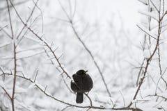 Uccello che si siede su un ramo nell'inverno Immagini Stock