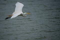 Uccello che sorvola acqua fotografia stock libera da diritti