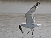 Uccello che strappa un pesce da uno stagno fotografie stock