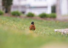 Uccello che vi esamina all'aperto Fotografie Stock Libere da Diritti