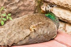 Uccello Chick Love del pavone Immagine Stock Libera da Diritti