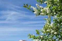 Uccello-ciliegia sul cielo Fotografie Stock