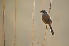 Uccello a coda lunga di laniere nel Nepal Fotografie Stock