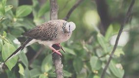 Uccello (colomba, piccione o disambiguazione) in una natura fotografia stock libera da diritti