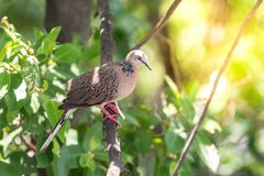 Uccello (colomba, piccione o disambiguazione) in una natura immagine stock libera da diritti