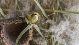 Uccello color giallo canarino Fotografie Stock Libere da Diritti