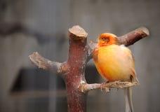 Uccello color giallo canarino Fotografie Stock