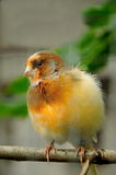 Uccello color giallo canarino Immagine Stock