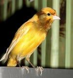 Uccello color giallo canarino Immagini Stock