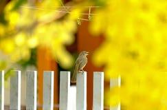 Uccello color giallo canarino fotografia stock