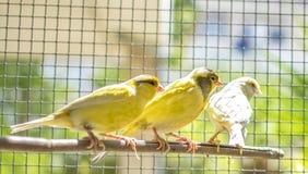 Uccello color giallo canarino appollaiato su un bastone dentro una gabbia immagine stock