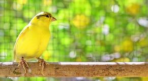 Uccello color giallo canarino appollaiato su un bastone dentro una gabbia fotografia stock libera da diritti
