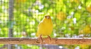 Uccello color giallo canarino appollaiato su un bastone dentro una gabbia immagini stock