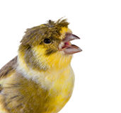 Uccello color giallo canarino crestato Fotografia Stock Libera da Diritti
