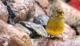 Uccello color giallo canarino giallo Immagini Stock