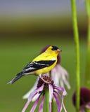 Uccello color giallo canarino selvaggio Fotografia Stock Libera da Diritti