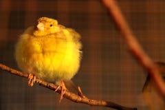 Uccello color giallo canarino sveglio Fotografia Stock Libera da Diritti