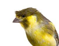 Uccello color giallo canarino sveglio Fotografia Stock