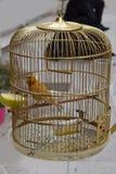 Uccello color giallo canarino in una gabbia dorata immagini stock